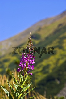Flower in the mountain