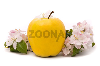 Ripe Yellow Apple and apple-tree blossoms on a white background