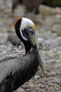 Meerespelikan Pelicanus occidentalis