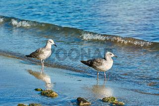 Subadult European Herring Gulls