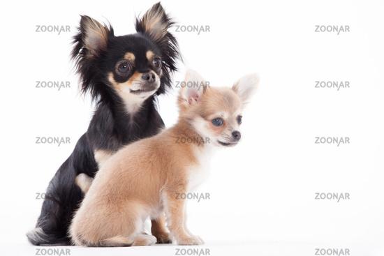 Beautifull chihuahua dogs