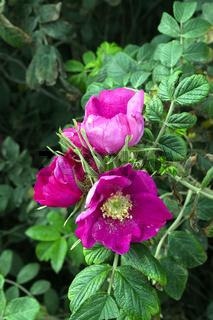 Syltrose, Kartoffelrose (Rosa rugosa), Sylt, nordfriesische Inse