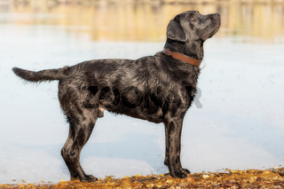 Black Labrador Retriever stands by the water