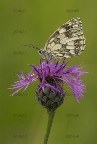 Schachbrettfalter, Marbled White, Melanargia galathea