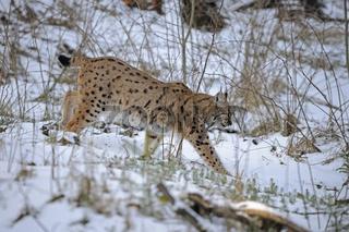 Karpatenluchs ,Lynx lynx carpathicus, streift im Winter durch sein Revier