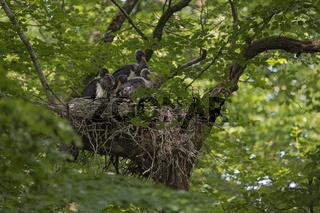 Ruhe im Nest...  Schwarzstorch *Ciconia nigra*