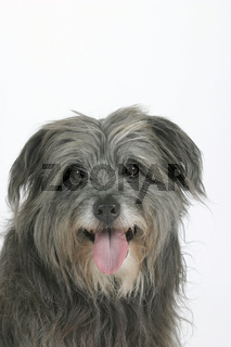 Berger des Pyrenees / Pyrenaeenschaeferhund