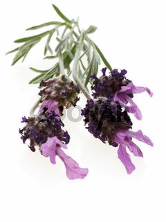 Freigestellter frischer Lavendel