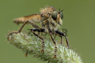 Schlichte Raubfliege (Machimus rusticus)