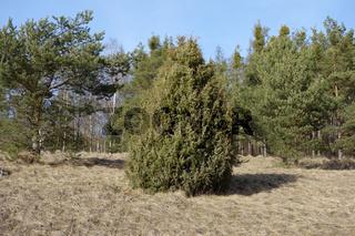 Juniperus communis, Gemeiner Wacholder, Common Juniper