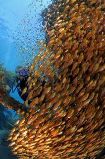 Schwarm von Glasfischen und Taucher