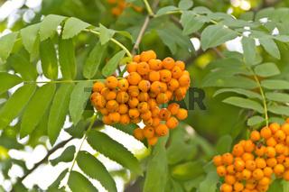 Rowanberry branch in summer