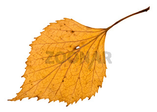 back side of autumn holey yellow leaf of birch