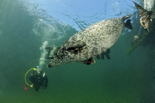 Europaeischer Seehund beim Training, Phoca vitulina vitulina,  Common Seal during training