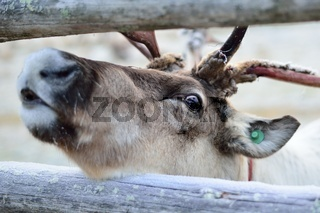 A close-up on a reindeer eye.