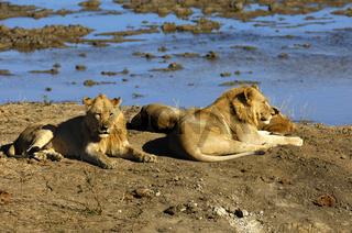 Löwen liegen an einer Wasserstelle