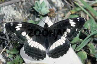 Keiner Eisvogel,  Limentis camilla, White Admiral Butterfly