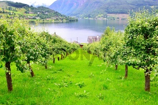 Apple orchard for cider in Ulvik