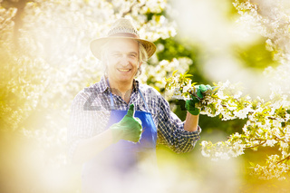 Gärtner Kirschblüte Kontrolle gut