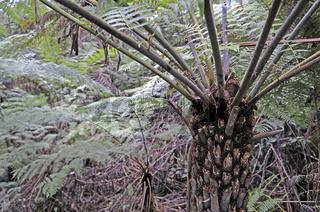 baumfarne ( Pyrrosia rupestris) im gemäßigten regenwald des blue