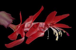 Weihnachtskaktus (Schlumbergera)