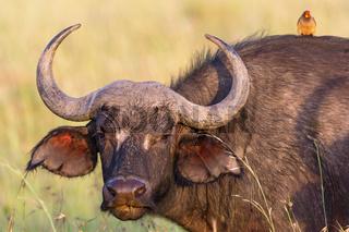 African buffalo portrait