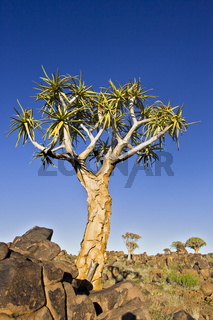 Koecherbaumwald (Aloe dichotoma), Garaspark, Keetmanshoop, Namibia, Afrika, Quiver tree or Kokerboom forest, Africa