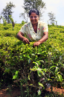 Sri Lanka woman collects tea leaves