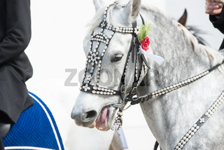 Geschmücktes Pferd beim Osterreiten in der Oberlausitz