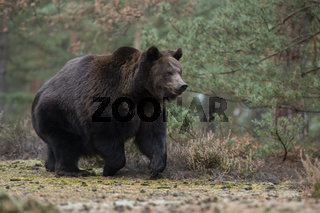 den Waldrand entlang... Europäischer Braunbär *Ursus arctos* in schnellem Lauf