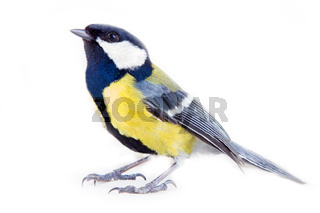 Great tit on white background