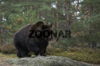am Waldrand... Europäischer Braunbär *Ursus arctos* auf einer Lichtung im Wald