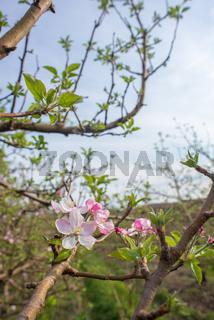 Apple Blossoms on Tree