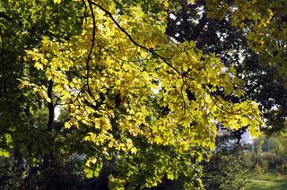Herbstlich verfärbter Spitzahorn (Acer platanoides),