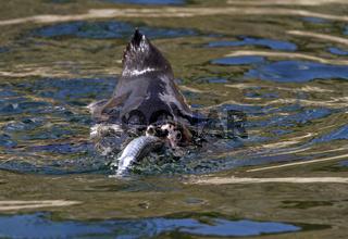 Humboldt Pinguin (Spheniscus humboldti)