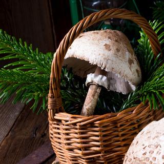 parasol mushroom (Macrolepiota procera or Lepiota procera)