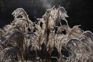 Miscanthus sinensis, Chinaschilf, Chinese silver grass, Reif, white frost