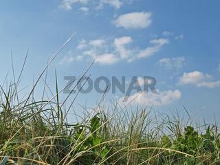 Duenengras, Ammophila