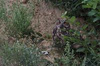 hidden... Eurasian Eagle Owl *Bubo bubo*