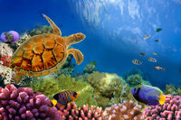 Photo of a coral colony and turtle