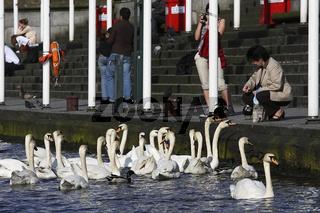 Mute Swans, Cygnus olor, in Hamburg at River Alster, Germany, hoeckerschwaene in Hamburg an der Alster, Deutschland