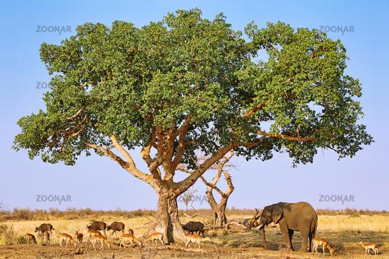 variety of Africa uder a sycomore fig, Kruger NP, south africa, wildlife