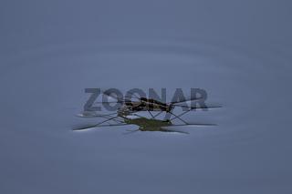 Wasserlaeufer, Gerridae, water strider