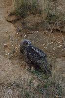 watching back... Eurasian Eagle Owl *Bubo bubo*, owlet turning its head