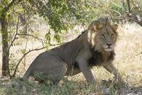 Maenlicher Loewe, panthera leo, lion