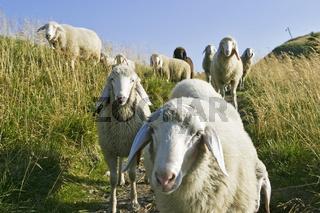Schafe in den Alpen, Bayern, Deutschland, Europa, sheeps in the bavarian alps, germany, europe