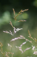 Summerly grasses