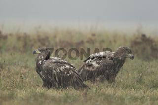 junge Adler... Seeadler *Haliaeetus albicilla*, zwei Halbstarke am Boden