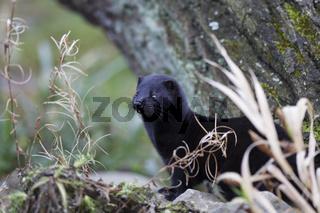 Mink Amerikanischer, Mustela vison, American mink
