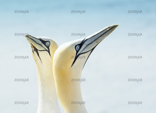 Close-up of two Northern gannets, Morus bassanus